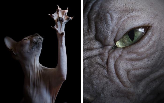 Φωτογραφίες από γάτες Σφίγγες που σας θυμήσουν εξωγήινους!